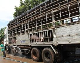 Lợn lại ùn ùn được chở lậu sang Trung Quốc