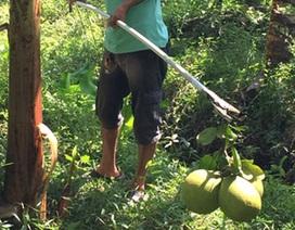 Mất mùa trái cây, nông dân trắng tay