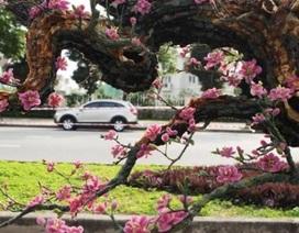 Ngắm cây đào thế bằng đá quý giá bạc tỷ ở Hà Nội