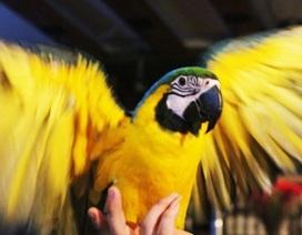 Thú chơi vẹt đuôi dài đắt đỏ nhất thế giới ở Hà Nội