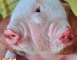 Lợn hai đầu ba mắt chào đời ở Trung Quốc