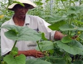 """""""Hai lúa"""" chi tiền tỷ trồng dưa công nghệ cao"""