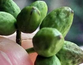 Vào rừng hái trái đắng, kiếm gần nửa triệu mỗi ngày