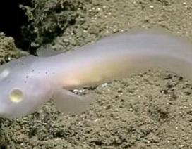 Phát hiện loài cá 'ma' bí ẩn dưới biển sâu