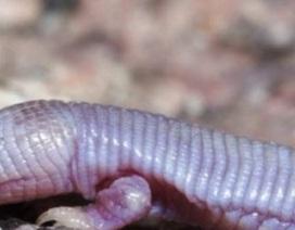 Sinh vật kì dị đầu thằn lằn mình chuột chũi