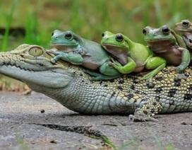 Gia đình ếch táo tợn xếp hàng trên lưng cá sấu để quá giang