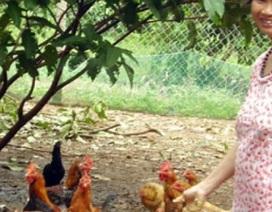 """""""Thủ phủ gà ta"""" quây vườn, dựng trại chờ tết"""