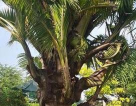 Dừa trổ ra cây con siêu lạ ở Bến Tre