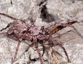Phát hiện 3 loài nhện ma bay cả trăm kilomet trên biển