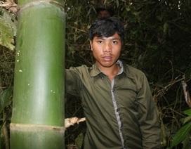Cận cảnh loài tre khổng lồ trên núi cao Quảng Nam