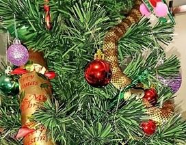 Suýt bị rắn độc cắn vì tưởng nhầm là... đồ trang trí cây thông Noel