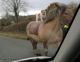 """Kỳ dị cảnh """"chó cưỡi ngựa"""""""