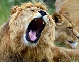 Sư tử bị tuyên án chung thân trong sở thú vì tội giết người