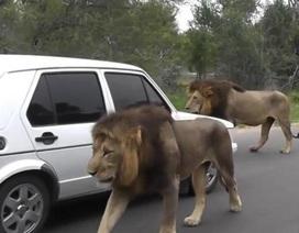 """Sư tử """"dạo phố"""" làm tắc cả đường"""