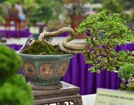 """Cây cảnh tí hon giá ngàn đô khiến dân chơi bonsai """"phát sốt"""""""