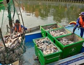 250 người trắng đêm vớt gần 70 tấn cá chết