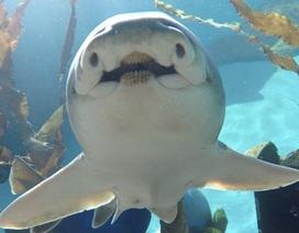 Chuyện lạ: Cá mập cũng có cá tính