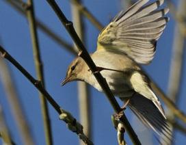 Tại sao số chim trống lại nhiều hơn chim mái?