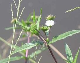 Những thảo dược dành cho người bị trĩ