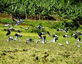 """Đàn chim """"lạ"""" xuất hiện tại Lào Cai là loài có tên trong Sách đỏ thế giới"""
