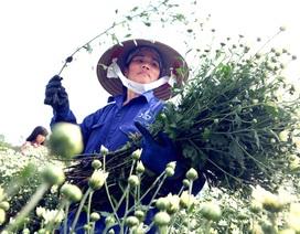 Cúc họa mi được mùa, nông dân Hà Nội thu cả trăm triệu