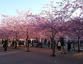 Ngây ngất mùa hoa anh đào giữa thủ đô Stockholm