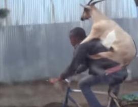 """Chết cười với clip """"Dê đi xe đạp"""""""
