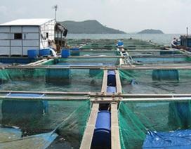 Thương lái Trung Quốc thao túng cá nuôi