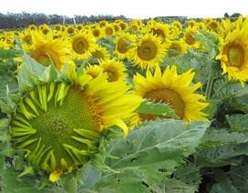 Tại sao hoa hướng dương quay theo hướng mặt trời?
