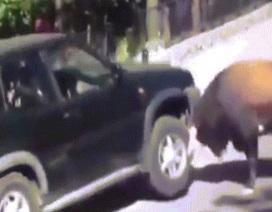 Bò rừng điên cuồng húc, nâng bổng xe hơi chở người
