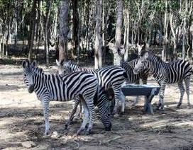 Thú quý đã sinh sản tại Vinpearl Safari Phú Quốc