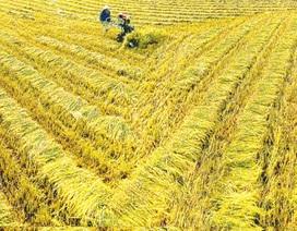 Khai thác và phát triển các nguồn gen lúa đặc sản