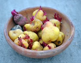 Nơi nào trên thế giới canh tác khoai tây đầu tiên?