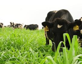 TH true MILK hé lộ mô hình trang trại bò sữa hữu cơ