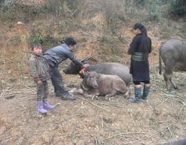 Lào Cai bùng phát bệnh lở mồm long móng trên đàn gia súc