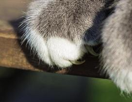 Bệnh mèo cào: Không thể xem thường!