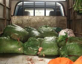 Bắt 400kg mỡ trâu, bò hôi thối ruồi nhặng bám dày đặc