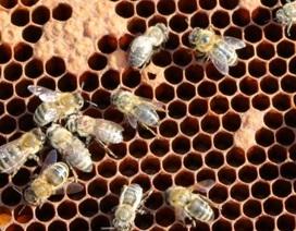 Mối đe dọa của vi rút làm cánh ong mật bị biến dạng