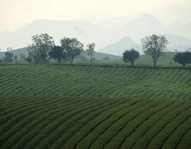 Tấm thảm xanh vô tận trên cao nguyên Mộc Châu