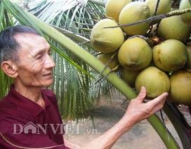 """""""Bí kíp"""" khác người giúp dừa sai quả, nhiều nước"""