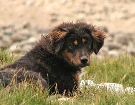Chó lang thang có thể lây bệnh và giết chết các động vật hoang dã