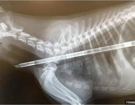 Chú chó được cứu sống sau khi nuốt chong chóng dài gần nửa mét