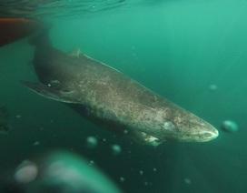 Cá mập Greenland có thể sống đến 400 tuổi