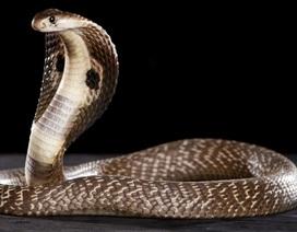 Phát hiện ung thư bằng nọc rắn hổ mang