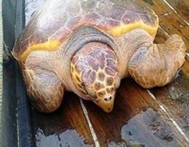 Ngư dân bắt được rùa vàng quý hiếm nặng hơn 70 kg