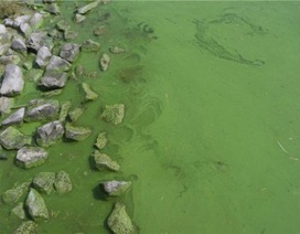 Tảo độc lục lam thích ứng với CO2 tăng
