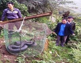 Lào Cai: Thả trăn đất quý hiếm về rừng tự nhiên