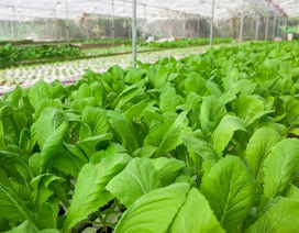 """Những loại rau """"trồng là lớn"""" trên sân thượng"""