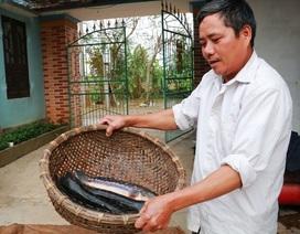 Kiếm cả trăm triệu đồng từ nuôi cá lóc bông