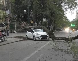 Hà Nội: Cây phượng cổ thụ bất ngờ đổ đè bẹp ô tô